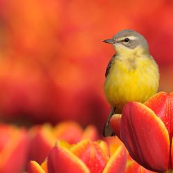 Gele Kwikstaart op rode tulp