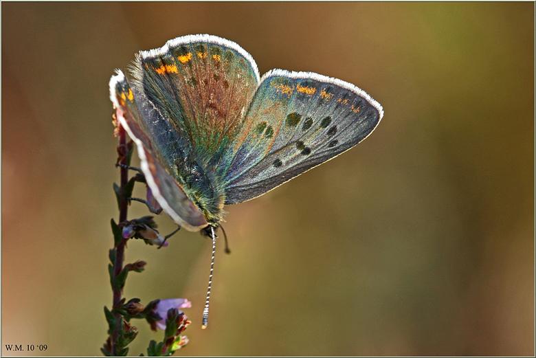 Like the Rainbow - De Bruine Vuurvlinder (Lycaena tityrus), is amper bruin te noemen, alle kleuren van de regenboog heeft ze.<br /> Foto van augustus