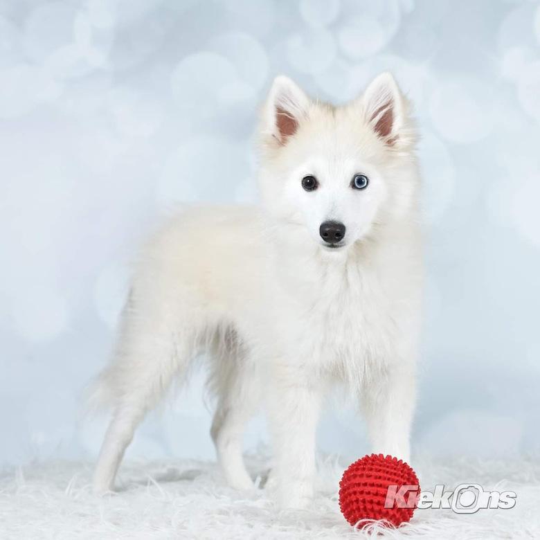 Baco - Baco, een jonge speelse Pomsky pup.
