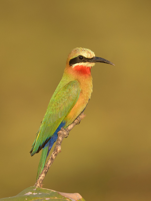 White Fronted-Bee-eater - Het is een genot van al die kleurrijke vogels in Zambia voor de lens te krijgen, zoals deze fraaie bijeneter.<br /> <br />