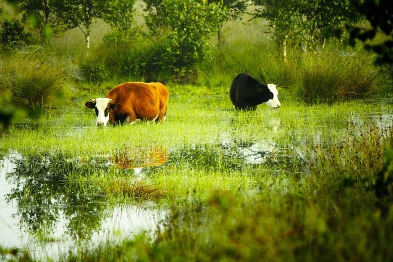 Hollandsche waterbuffels - Een aantal foto's geleden hadden we het over koeien die op hun manier voor het onderhoud in natuurgebieden zorgen. Hie