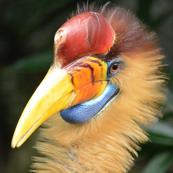 Sulawesi-Jaarvogel.
