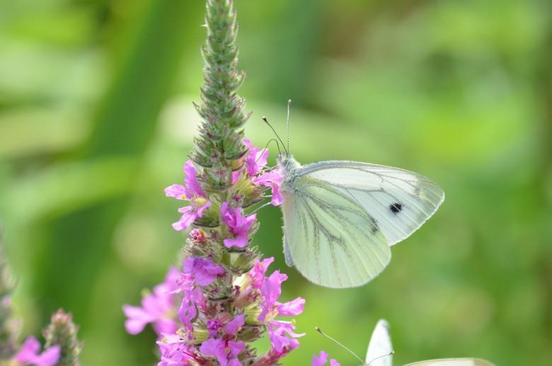 Vlinder - Vlinder
