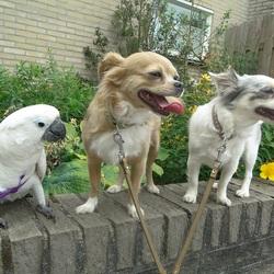 V.l.n.r.: Witkuifkaketoe Maxi en Chihuahua's Vicky & Lisa!