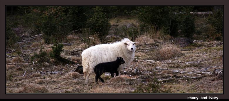 Ebony and ivory - Kale duinen