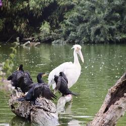 roze pelikaan met aalscholvers