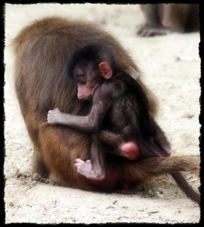 Veilig bij mama - dierentuin Emmen