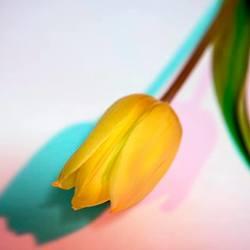 Tulp verlicht