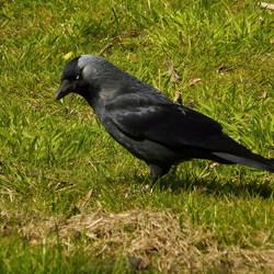 Vogel serie 102. Utrechts kouwtje