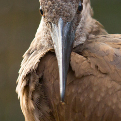 Vogel II