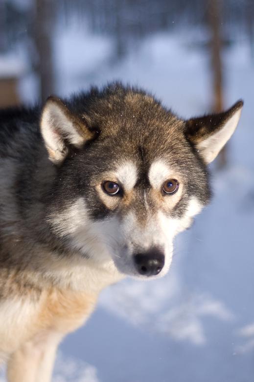 Huski - Een huski-hond in lapland. Het was daar het grootste deel van de dag donker of schemerig dus lastig om foto's te maken. Bij deze foto sch