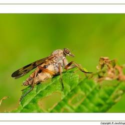 vermoed een snipvlieg(Rhagio scolopaceus)
