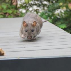 Bruine rat komt smullen