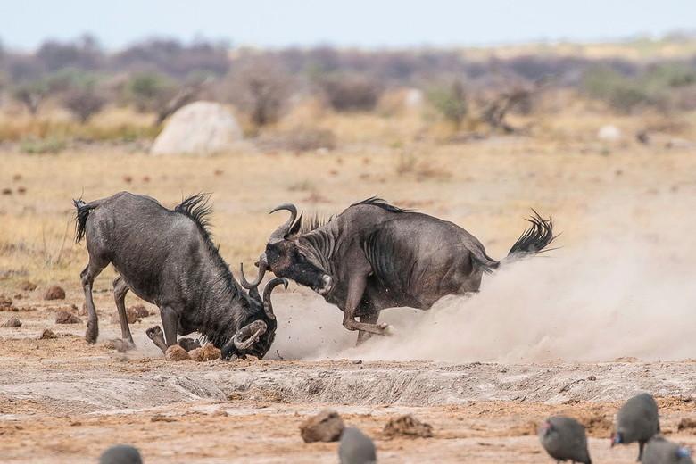 Wildebeest gevecht. - Tijdens mijn bezoek aan Nxai pan in Botswana was ik getuige van een strijd tussen 2 wildebeest stieren waarbij het waarschijnlij