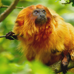 Leontopithecus rosalia in twijfel
