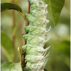 rups van een atlasvlinder