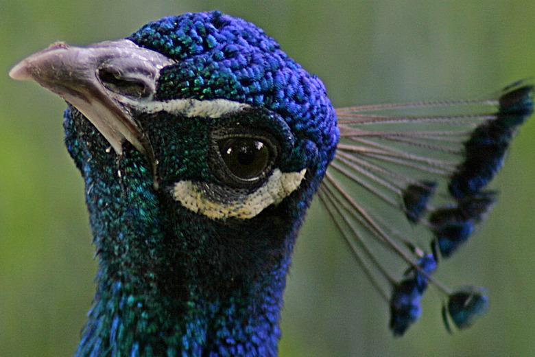 kijk mij nou - wie heeft wie in het vizier ga je denken bij de aanblik van deze pauw