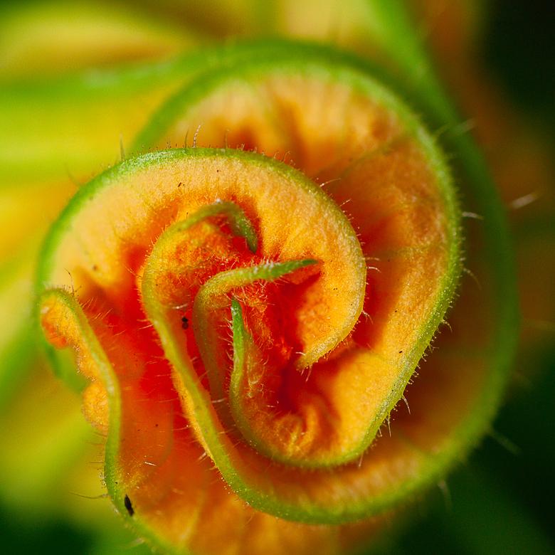Gesloten komkommer bloem. -