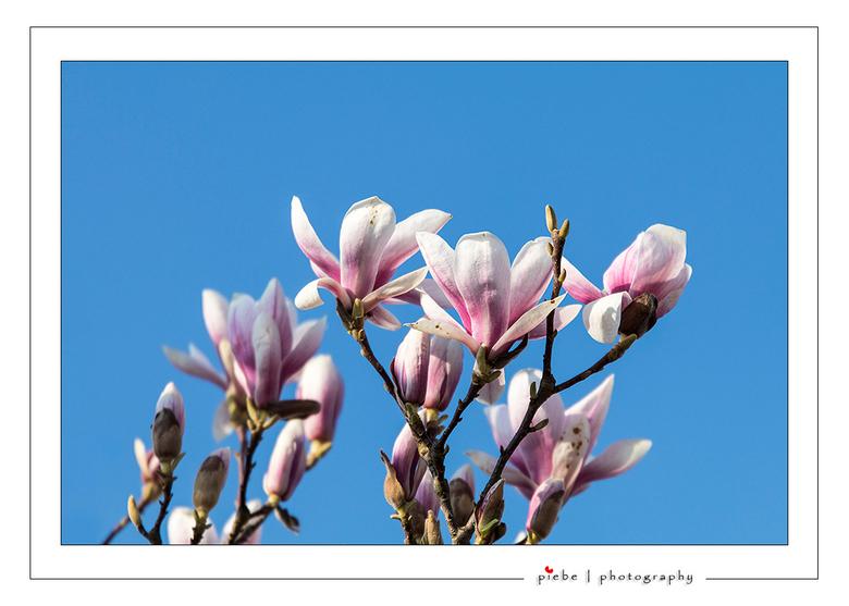 """Tulpenboom - Gisteren 3 april 2016 zag ik de tulpenboom al weer bijna in bloei staan, de lente komt eraan.<br /> <br /> Groet  <a href=""""http://www.p"""