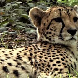 Cheetah Beekse Bergen)