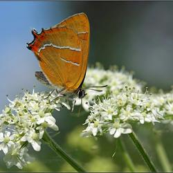 Sleedoornpage (Thecia betulae)