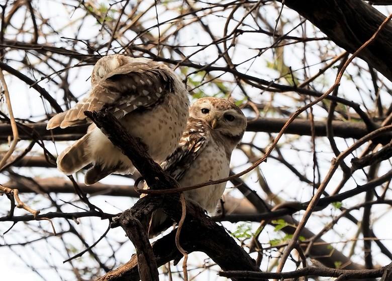 Mijn Tijger Safari  reis naar India - twee uilen  die ik nog maar net kon spotten . ja mensen er zaten heel wat soorten vogels in dit park  en kon beg