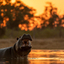 Hippo at sunset