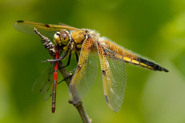 "Dragonfly on Damselflycandy - Deze vierkvlek zat lekker te kauwen op een vuurjuffer. Life&#039;s a Bitch! <img  src=""/images/smileys/tongue.png""/><br"