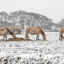 Paarden in de sneeuw op Texel.