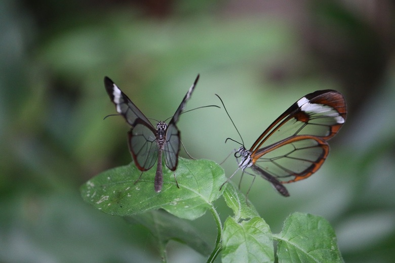 Glasvleugel vlinder - Glasvleugel duo