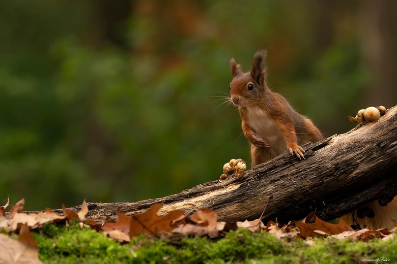 buiging eekhoorn - Ze kwamen van alle kanten aan, om maar zoveel mogelijk eten te zoeken voor hun wintervoorraad. En er werd natuurlijk ook veel geget