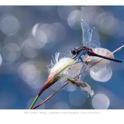 Noordse witsnuitlibel