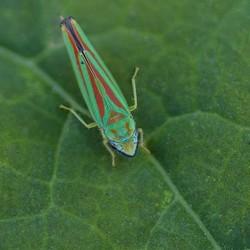 Green-Banded Leafhopper