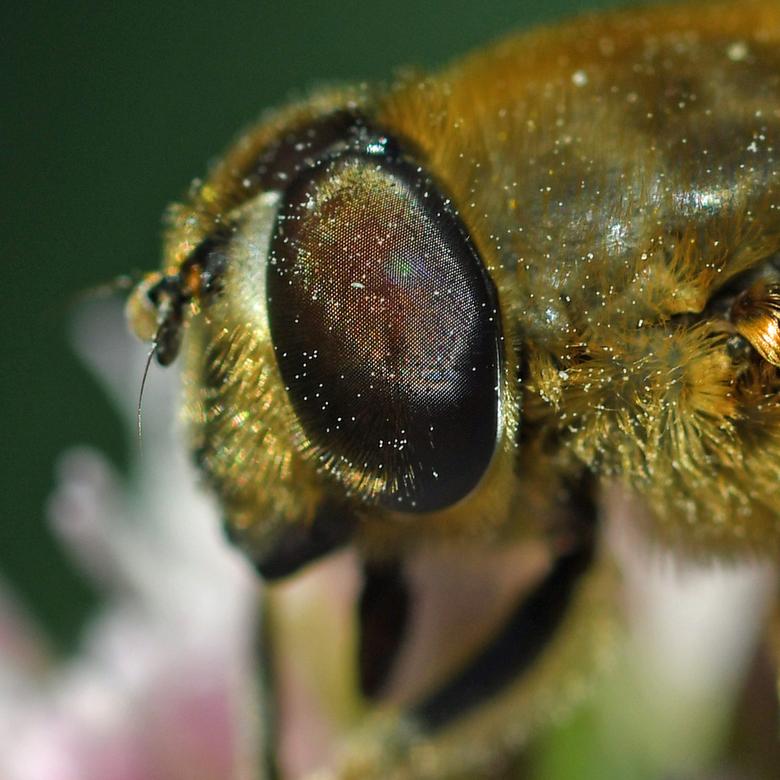 hoezo blind - Een blinde bij lijkt op een bij, maar is een zweefvlieg. Op die manier profiteert de vlieg van de negatieve ervaringen van vogels met st