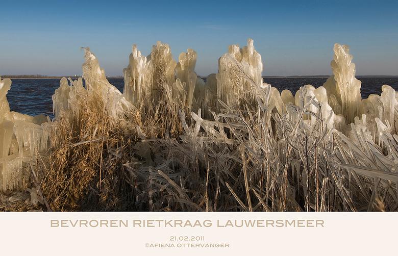 bevroren Rietkraag Lauwersmeer - Afgelopen maandag een rondje Lauwersmeer gedaan op zoek naar vogels.<br /> Denk dat die zich allemal hdden verstopt