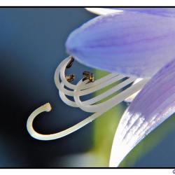 detail hosta bloem