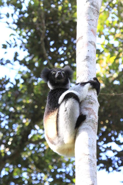 Indri Indri in the wild - In de Jungle van Madagaskar: Indri Indri<br /> Het geluid dat ze produceren is zeer indringend.