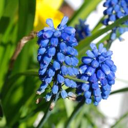 Blauwedruif