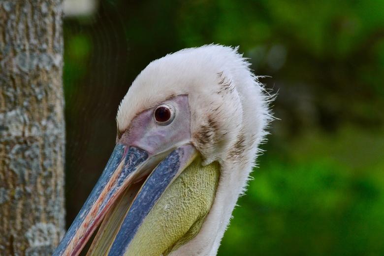 kop van een pelikaan - Deze pelikaan stond in dierenpark Hoenderdaell, in de kop van Noord Holland, vlak bij de afscheiding. Kon een mooie close up ma