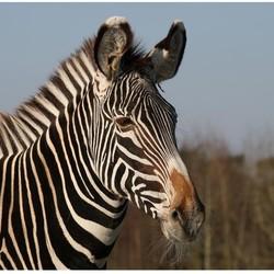 zebra in de ijzige kou