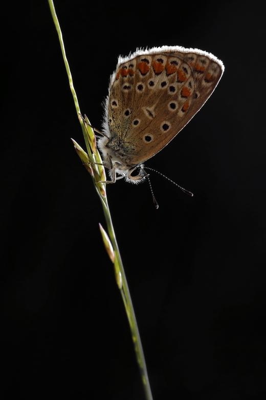 icarusblauwtje LO0A6208 -