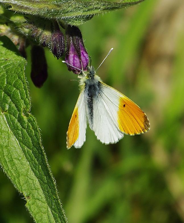 Oranjetipje - Deze vlinder kwam ik op 1 van mijn fiets tochtjes tegen door natuurgebied De Heerlijkheid(Eese). Was mij vorig jaar niet opgevallen, maa
