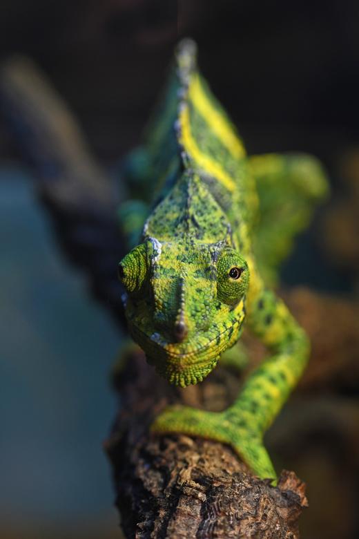 bijtertje - De Mellers kameleon heeft ook wel de populaire naam reuzenkameleon. Met 60 cm behoort de Mellers tot de grotere soorten. De soort stamt ui