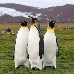 King pinguins