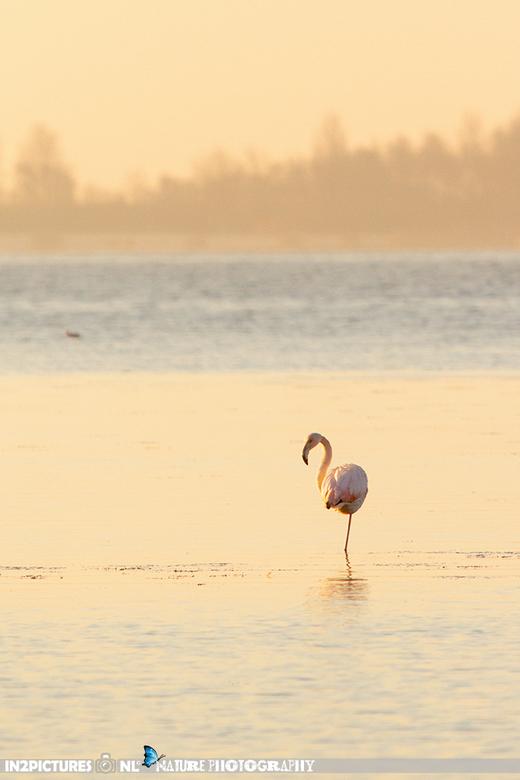 Winter in Holland - In Zuid Holland zit iedere winter een kolonie Flamingo's. Op de ochtend van de bloedmaan was ik net voor zonsopkomst op de pl