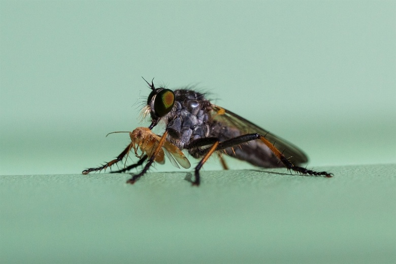 Insect met prooi -