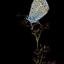 icarusblauwtje op pitrus LO0A6989