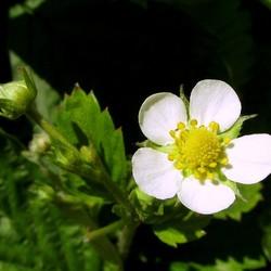 bloem van wilde aardbei
