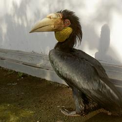 Gewone Jaarvogel (Indonesië)