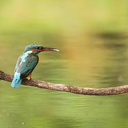 IJsvogel op een tak met visje tussen snavel